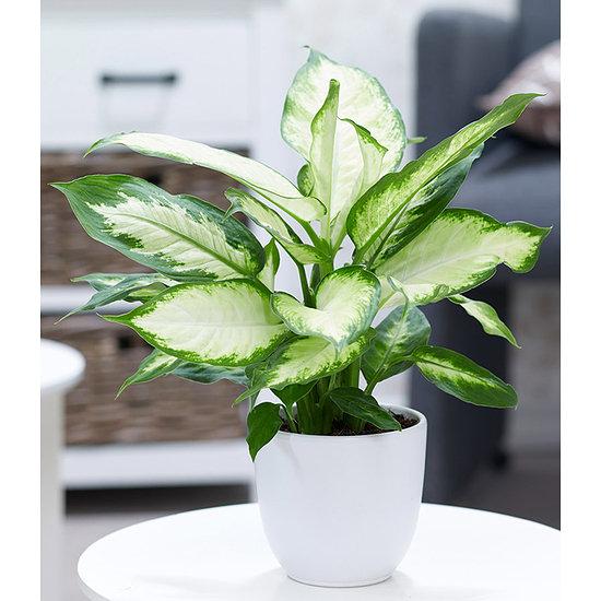 """Garten-Welt Dieffenbachie """"Camilla"""" , 1 Pflanze mehrfarbig"""