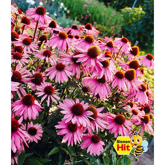 Garten-Welt Echinacea purpurea , 3 Pflanzen mehrfarbig