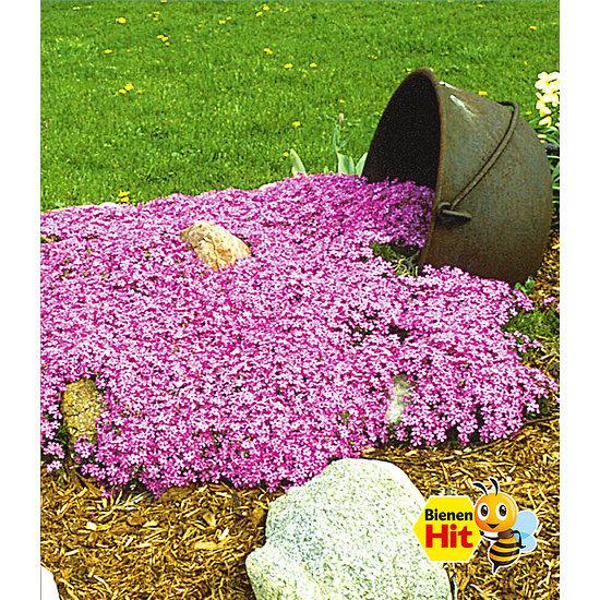 """Garten-Welt Teppichphlox """"Emerald Pink"""" , 3 Pflanzen rosa"""