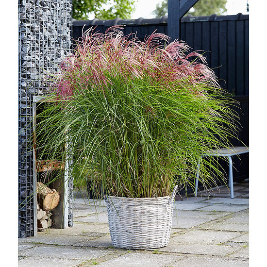 """Garten-Welt Miscanthus """"Red Cloud®"""" , 1 Pflanze rot"""