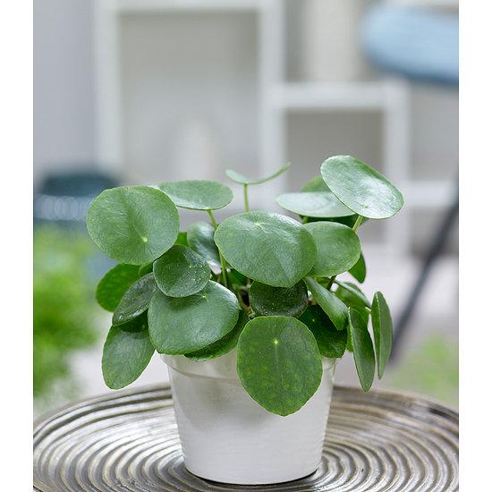 Garten-Welt Pfannkuchenpflanze , 1 Pflanze grün
