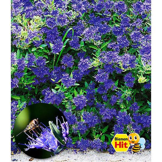 """Garten-Welt Bartblume """"Blauer Spatz®"""", 1 Pflanze blau"""