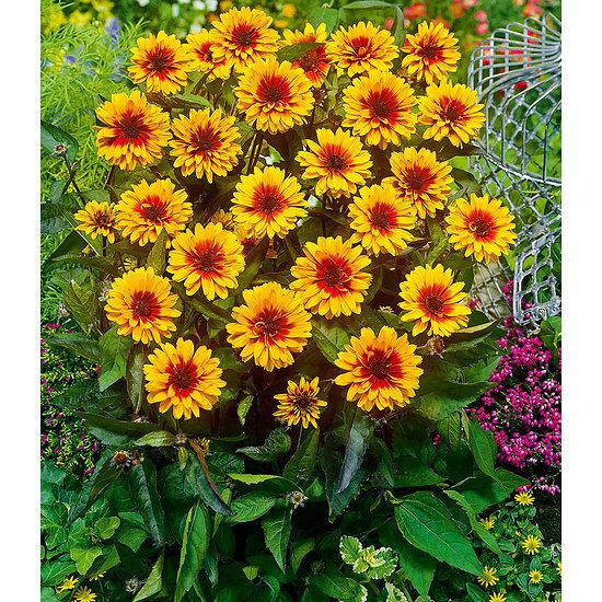 """Garten-Welt Heliopsis """"Funky Spinner"""" , 1 Pflanze gelb"""