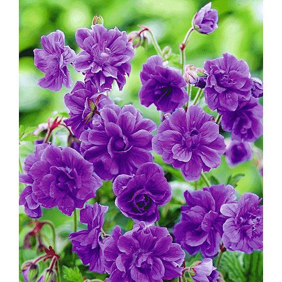 """Garten-Welt Winterharte Geranie """"Blaue Birch Double"""", 2 Knollen lila"""