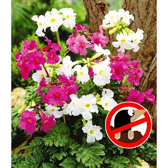 Garten-Welt Incarvillea Blüten-Mix 3 Stück mehrfarbig