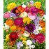 Garten-Welt Freesien- & Ranunkel-Mix , 35 Stück mehrfarbig (1)