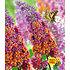 """Garten-Welt Buddleia """"Flower- Power im 2-Liter Topf"""", 1 Pflanze lila (1)"""