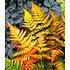 """Garten-Welt Schmuck-Farn """"Golden Brilliant"""", 1 Pflanze orange (1)"""