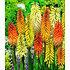 Garten-Welt Fackellilien-Mix , 4 Knollen mehrfarbig (1)