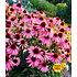 Garten-Welt Echinacea purpurea , 3 Pflanzen mehrfarbig (1)