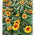 """Garten-Welt Heliopsis """"Funky Spinner"""" , 1 Pflanze gelb (2)"""