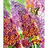 """Garten-Welt Buddleia """"Flower- Power im 2-Liter Topf"""", 1 Pflanze lila (2)"""
