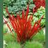 """Garten-Welt Ziergras """"Red Baron"""", 3 Pflanzen rot (2)"""