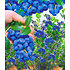 Garten-Welt Beeren-Sortiment , 3 Pflanzen mehrfarbig (3)