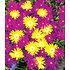 Garten-Welt Goldtaler 2 Pflanzen gelb (3)